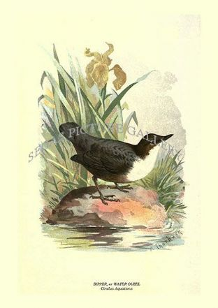 DIPPER, OR WATER OUZEL - Cinclus Aquations